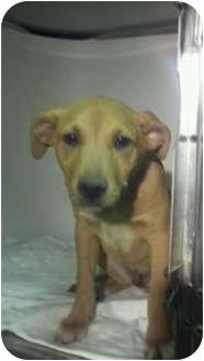Labrador Retriever/Bulldog Mix Puppy for adoption in Niceville, Florida - Jake