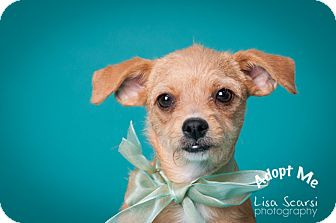 Chihuahua/Terrier (Unknown Type, Small) Mix Puppy for adoption in Tustin, California - Squirt