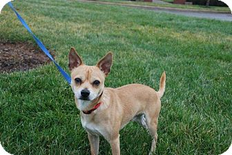 Chihuahua Mix Puppy for adoption in Albany, New York - Rocky