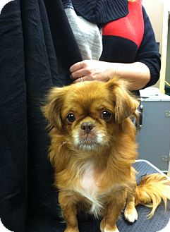 Pekingese Mix Dog for adoption in Hazard, Kentucky - Lucy