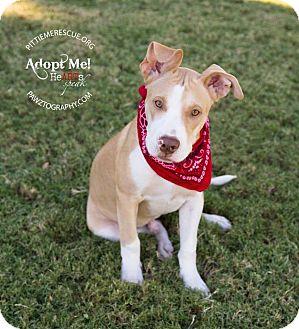 Pit Bull Terrier/Labrador Retriever Mix Puppy for adoption in Gilbert, Arizona - Bender
