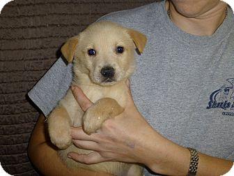 Australian Shepherd/Labrador Retriever Mix Puppy for adoption in Oviedo, Florida - Fenway