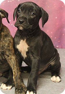 Boxer/Labrador Retriever Mix Puppy for adoption in North Olmsted, Ohio - Saki