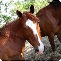 Quarterhorse for adoption in Hitchcock, Texas - MT-Cookie