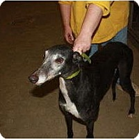Adopt A Pet :: Swifty (RC Swift) - Louisville, KY