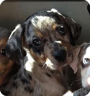 Catahoula Leopard Dog/Australian Shepherd Mix Puppy for adoption in Gainesville, Florida - Bob