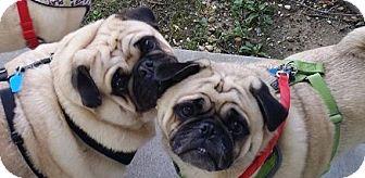Pug Dog for adoption in Huntingdon Valley, Pennsylvania - Thunder