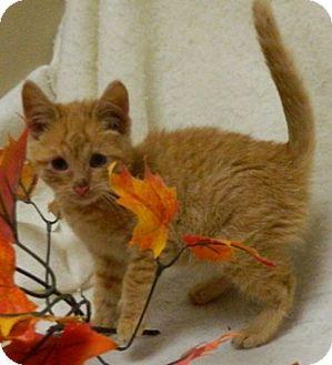 Domestic Shorthair Cat for adoption in Columbus, Nebraska - Twiggy