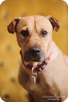 Shar Pei Mix Dog for adoption in Portland, Oregon - Mimi