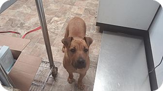 Rhodesian Ridgeback/German Shepherd Dog Mix Dog for adoption in Darlington, South Carolina - Arabella