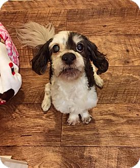 Poodle (Miniature)/Cockapoo Mix Dog for adoption in Southington, Connecticut - Pops