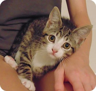 Domestic Shorthair Kitten for adoption in Chattanooga, Tennessee - Munchkin