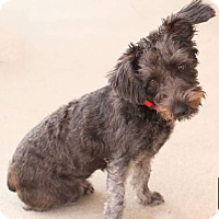 Adopt A Pet :: Schnauzer mix - Fredericksburg, VA