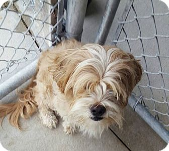Shih Tzu/Poodle (Miniature) Mix Dog for adoption in Bryan, Ohio - snickerdoodle