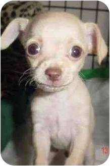 Chihuahua Puppy for adoption in Los Angeles, California - Chachee :) :)