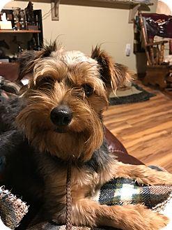 Yorkie, Yorkshire Terrier Mix Dog for adoption in Houston, Texas - A - BRYAN CRANSTON