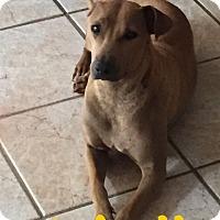 Adopt A Pet :: HOLLI - 2YR SHAR PEI - Mesa, AZ