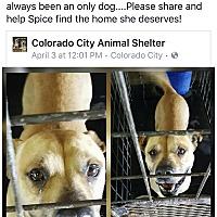 Adopt A Pet :: Spice - Colorado City, TX