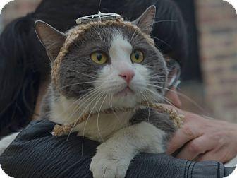 American Shorthair Cat for adoption in Brooklyn, New York - Cheeks