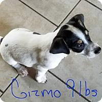 Adopt A Pet :: Gizmo - Lorain, OH