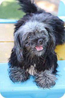 Pekingese Mix Dog for adoption in pasadena, California - DEE DEE