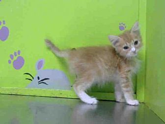 Domestic Shorthair Kitten for adoption in Houston, Texas - JOEY