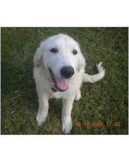 Great Pyrenees Dog for adoption in Kyle, Texas - Duke of Earl