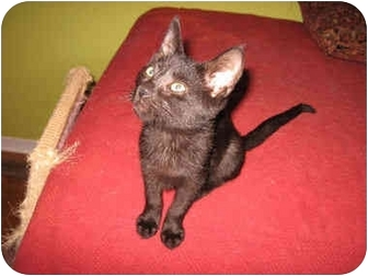Domestic Shorthair Kitten for adoption in Colmar, Pennsylvania - Patina