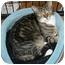 Photo 2 - Domestic Shorthair Cat for adoption in Salamanca, New York - Gina-SPONSORED!  NO FEE!