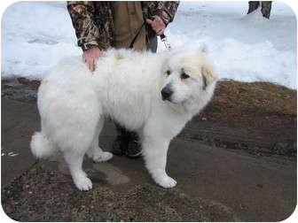 Great Pyrenees Dog for adoption in Minneapolis, Minnesota - Maverick