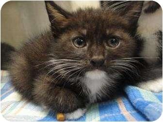 Domestic Mediumhair Kitten for adoption in Spruce Pine, North Carolina - Daniel