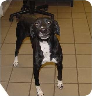 Whippet Mix Dog for adoption in Marshalltown, Iowa - Persia