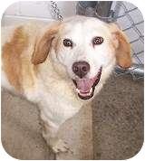 Spaniel (Unknown Type) Mix Dog for adoption in Monterey, Virginia - Corky