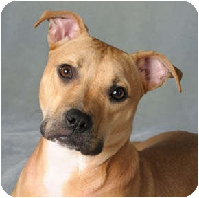 pitbull terrier lab mix bella bean adopted dog chicago il american pit bull 4732