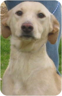 Labrador Retriever Mix Dog for adoption in Newberry, South Carolina - Shay