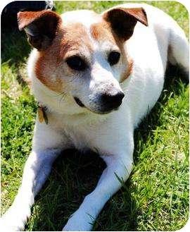 Jack Russell Terrier Dog for adoption in Omaha, Nebraska - Benny