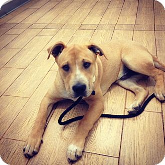 Labrador Retriever/Shepherd (Unknown Type) Mix Puppy for adoption in Santa Monica, California - Pudding