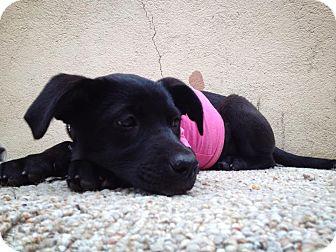 Terrier (Unknown Type, Small)/Labrador Retriever Mix Puppy for adoption in San Diego, California - Oli