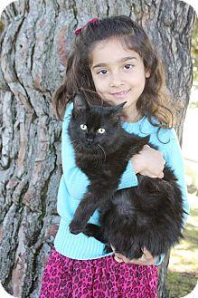 Birman Cat for adoption in Hollywood, California - Kiwi