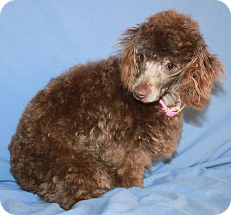 Poodle (Toy or Tea Cup) Puppy for adoption in Orange, California - Peggy Sue