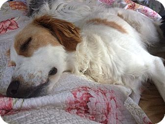 English Setter Mix Dog for adoption in Toronto, Ontario - DANCER