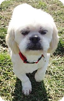 Shih Tzu Mix Dog for adoption in Lapeer, Michigan - STANLEY--FLUFFY FUZZBALL!!