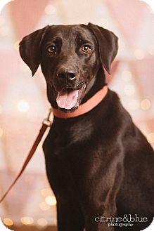 Labrador Retriever/Weimaraner Mix Dog for adoption in Portland, Oregon - Keanu