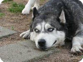 Siberian Husky Dog for adoption in Minneapolis, Minnesota - Aisha