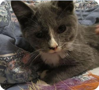 Domestic Shorthair Kitten for adoption in Des Moines, Iowa - Asher