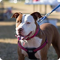Adopt A Pet :: Addison - Gilbert, AZ