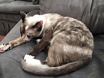 Siamese Cat for adoption in Rosamond, California - Lucy
