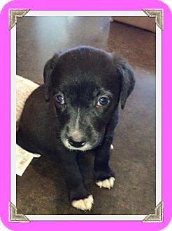 Labrador Retriever Mix Puppy for adoption in Austin, Texas - Puppy Socks