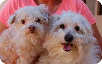 Bichon Frise Mix Dog for adoption in Las Vegas, Nevada - Bubbles