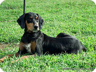 Doberman Pinscher Mix Puppy for adoption in Waterbury, Connecticut - ALEENA/ADOPTED